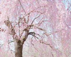 鳥取しだれ桜満開のお花見情報!
